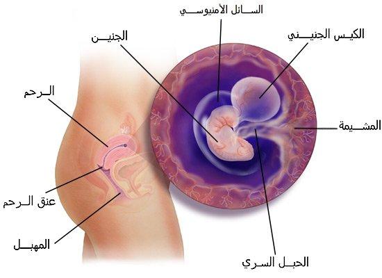 صور شكل الجنين في الشهر الاول