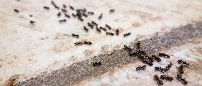 بالصور وصفة للقضاء على النمل نهائيا 20160711 2119