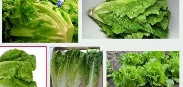 صور فوائد واضرار بذور الخس