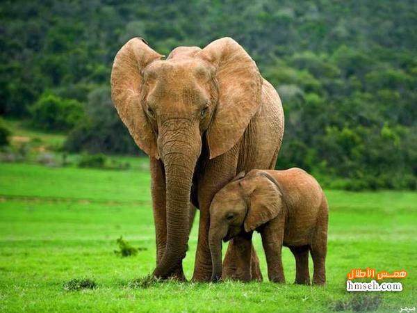 بالصور بحث حول الفيل بالفرنسية 20160711 407