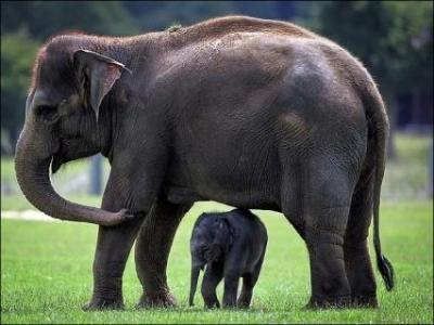 بالصور بحث حول الفيل بالفرنسية 20160711 408