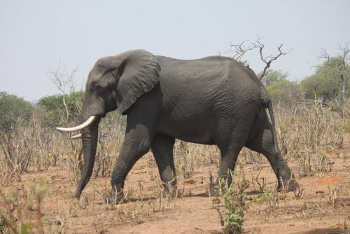 بالصور بحث حول الفيل بالفرنسية 20160711 411
