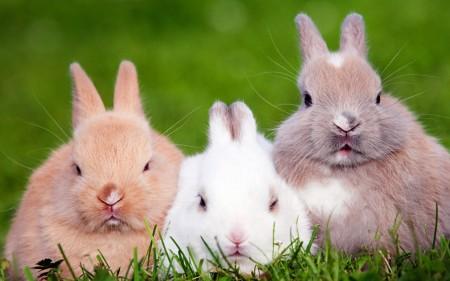 بالصور اجمل صور ارانب صغيرة وجميلة 20160712 155