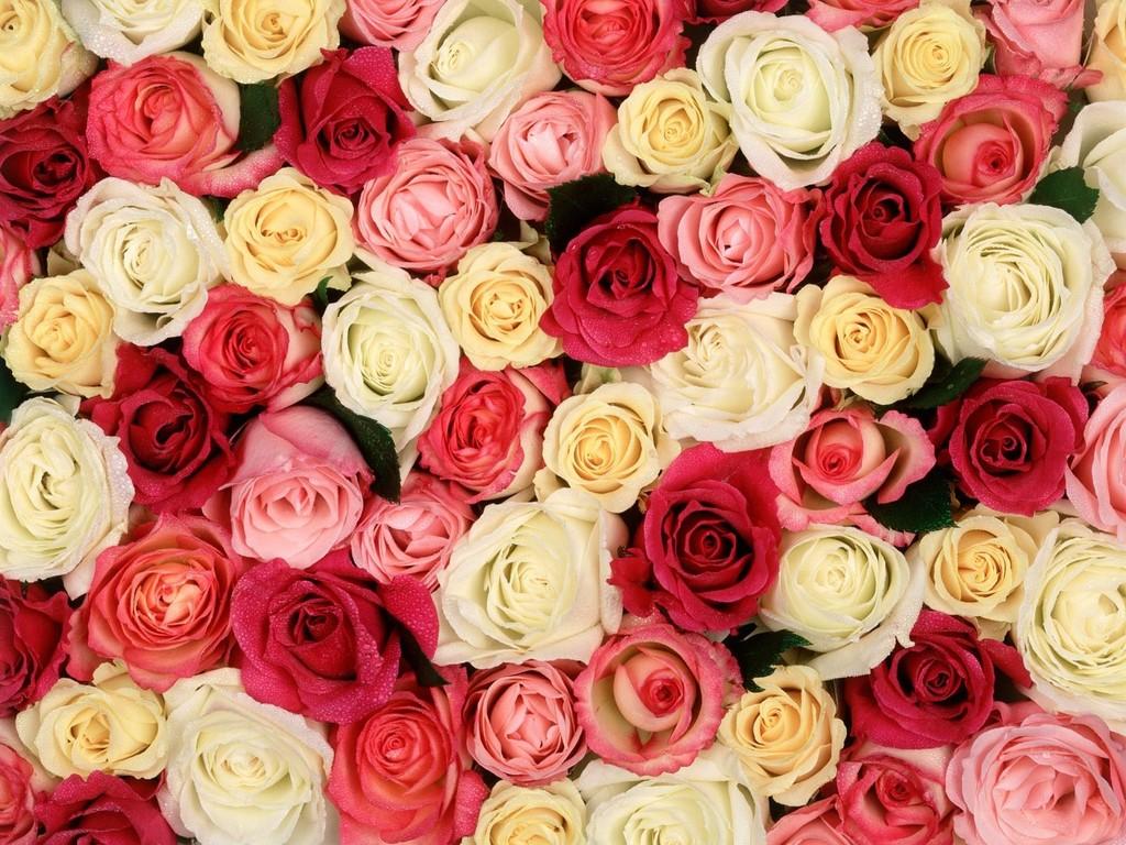 بالصور اكبر مجموعة من صور الورد الرائعة 20160712 1814