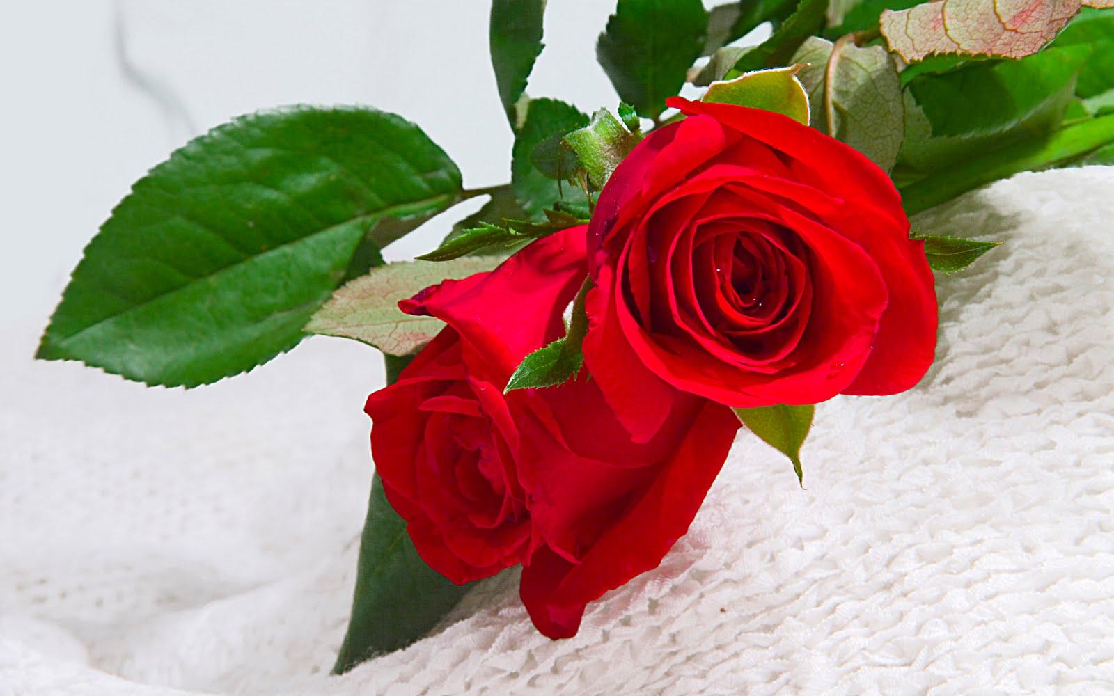 بالصور اجمل صور خلفيات لزهور الورد 20160712 495