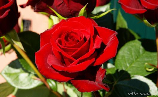 بالصور اجمل صور خلفيات لزهور الورد 20160712 502