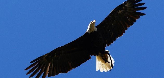 صور ما هو طائر العقاب
