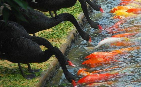 بالصور البجع الاسود يطعم اسماك كوى في فمها 20160713 2748