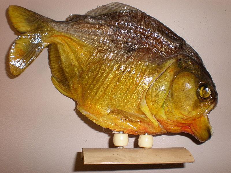 بالصور معلومات عامة عن سمك البيرانا 20160714 1145