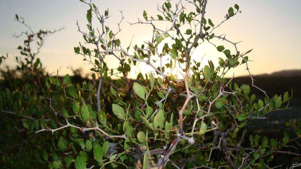 صور اهم فوائد نبات السدر