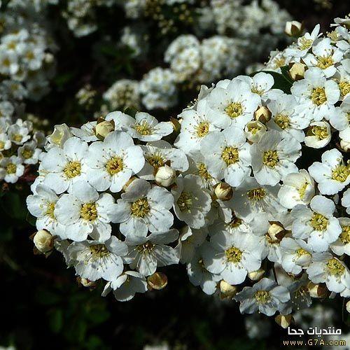 صور و رد ابيض 2019 ،<p></a></p> <p></p>اجمل صور ورود بيضاء متحركة 2019 ،<p></p> <p></p>صور زهور و و رد باللون الابيض 2019