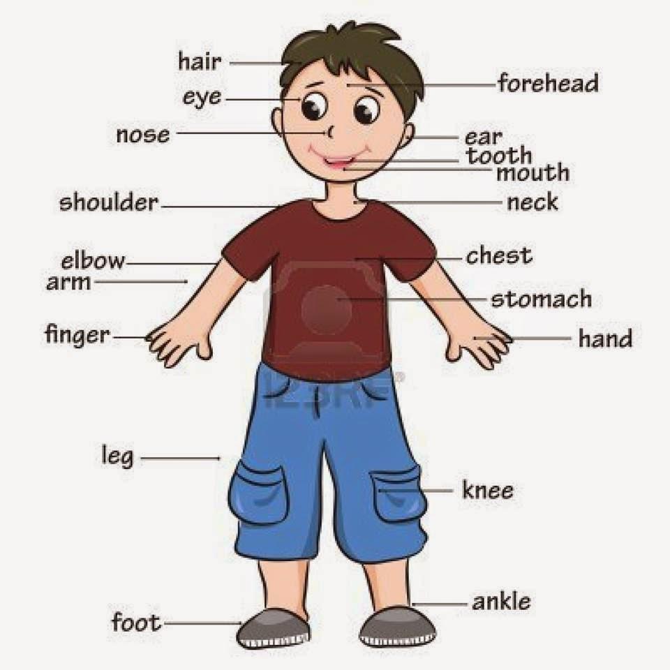 صورة اعضاء جسم الانسان بالانجليزية للاطفال