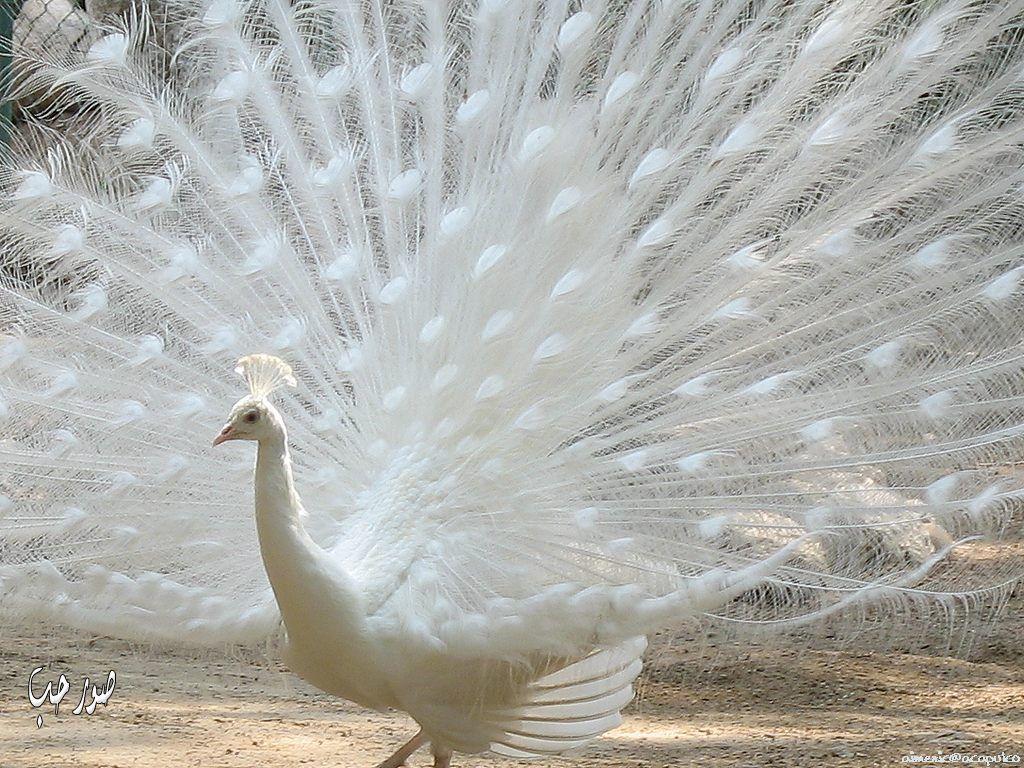 بالصور صور طيور بيضاء متحركة 20160716 1926