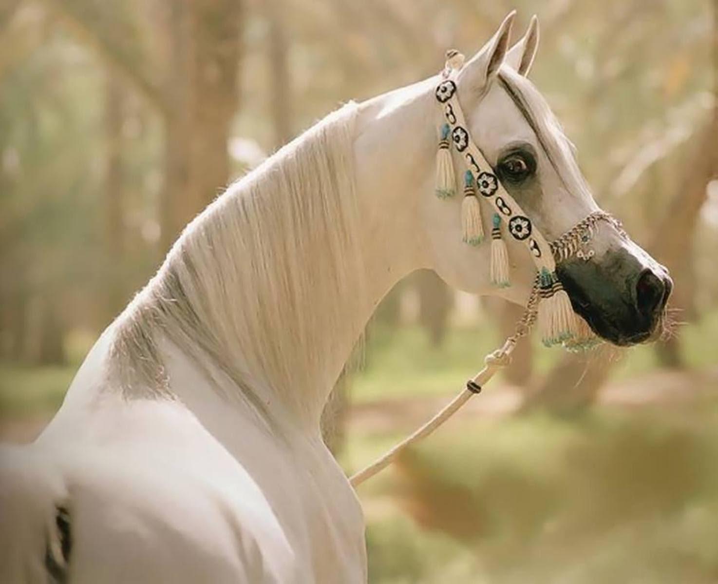 بالصور صور خيول اصيلة بالوان جميله 20160716 2318