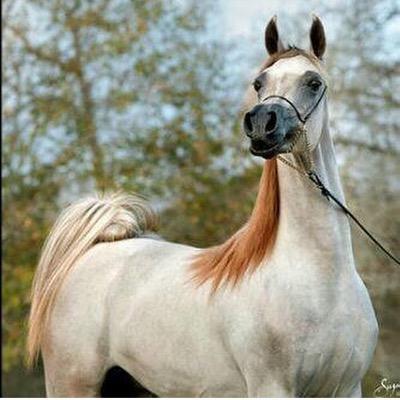 بالصور صور خيول اصيلة بالوان جميله 20160716 2320
