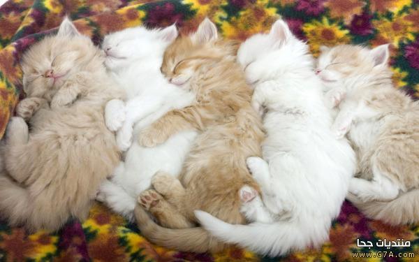 بالصور اجمل واحلى صور خلفيات قطط فى العالم 20160716 3258