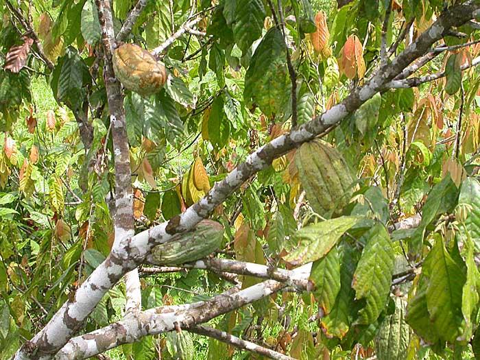 بالصور شجرة شوكولاته او شجرة الكاكاو 20160716 371