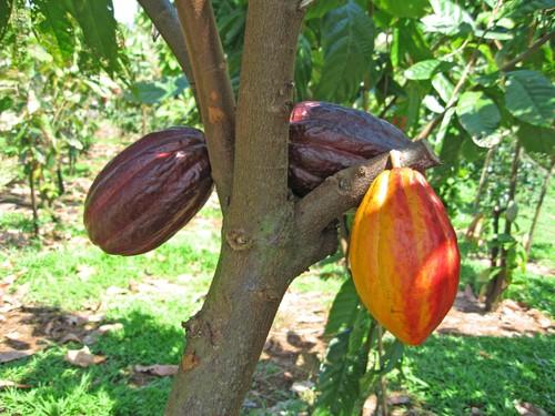 بالصور شجرة شوكولاته او شجرة الكاكاو 20160716 372