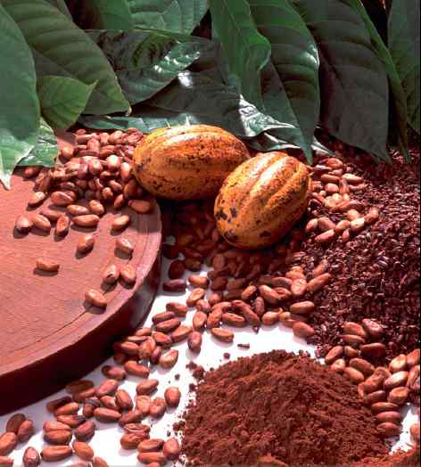 بالصور شجرة شوكولاته او شجرة الكاكاو 20160716 373