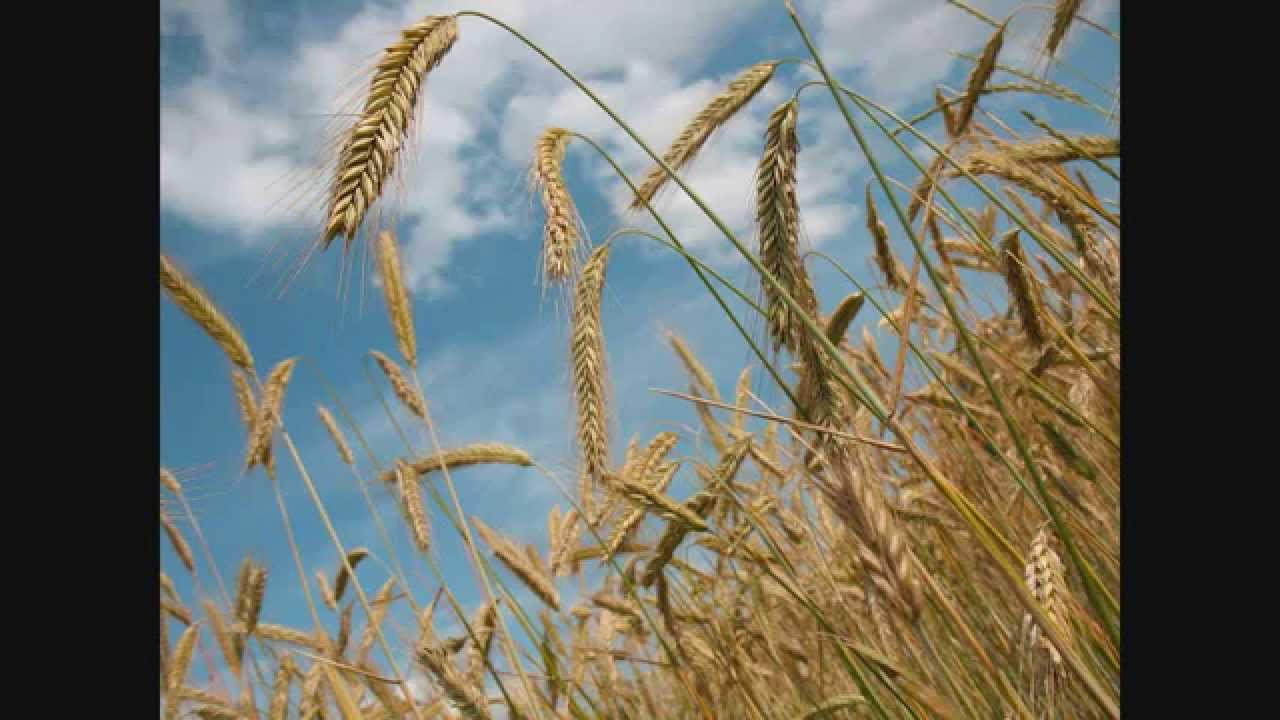 بالصور تفسير رؤية القمح او الحنطة في الحلم او المنام 20160717 214