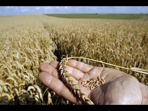 بالصور تفسير رؤية القمح او الحنطة في الحلم او المنام 20160717 215