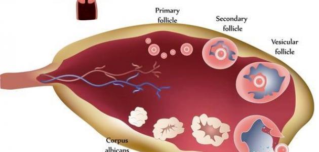 صورة علاج كيس في المبيض , معلومات كامله عن تكيس المبيض وعلاجه