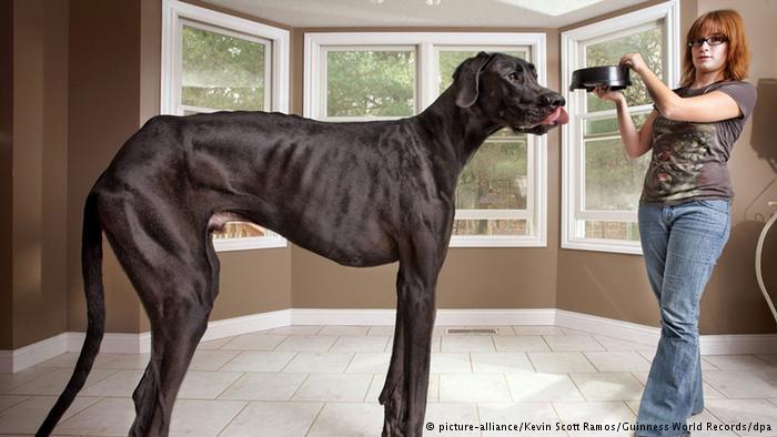 بالصور اكبر كلاب في العالم 20160719 1039