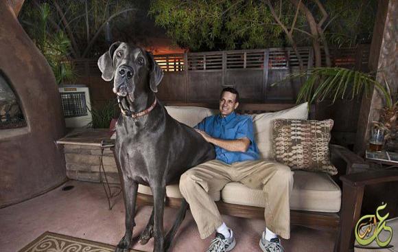 بالصور اكبر كلاب في العالم 20160719 1040