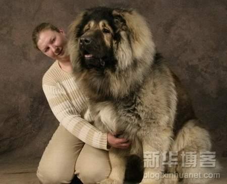 بالصور اكبر كلاب في العالم 20160719 1041