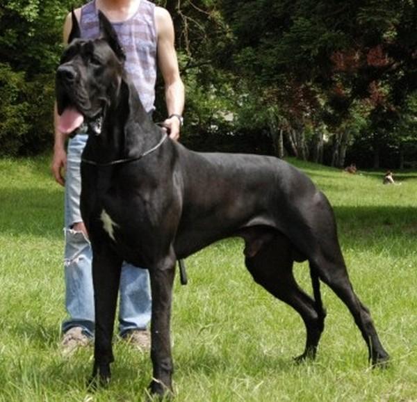 بالصور اكبر كلاب في العالم 20160719 1043