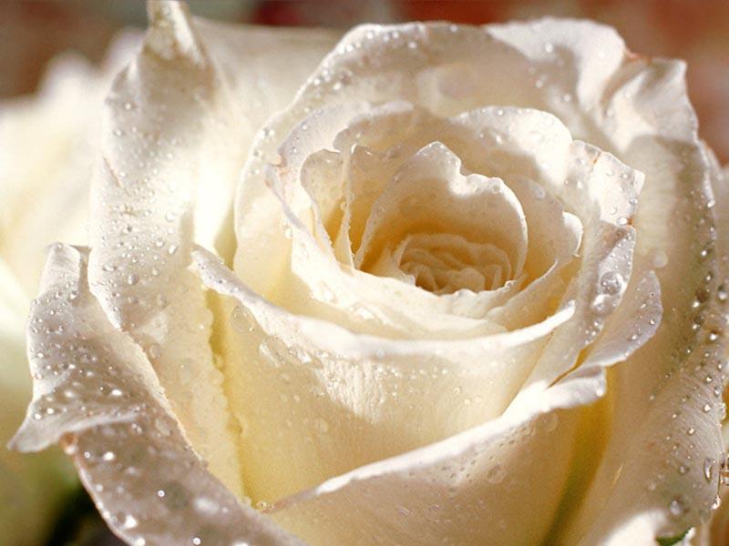 بالصور صور الورد الجوري وباقات الورد غاية فى الروعة 20160720 1052