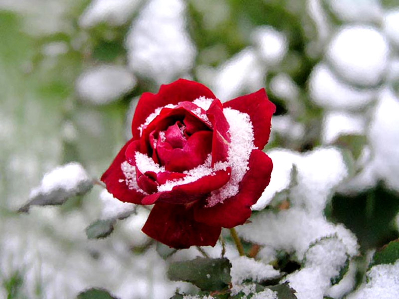 بالصور صور الورد الجوري وباقات الورد غاية فى الروعة 20160720 1055