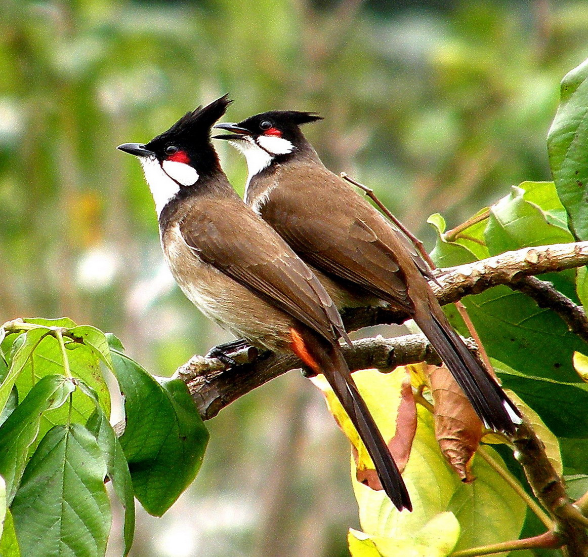 صور ما هو طائر بلبل