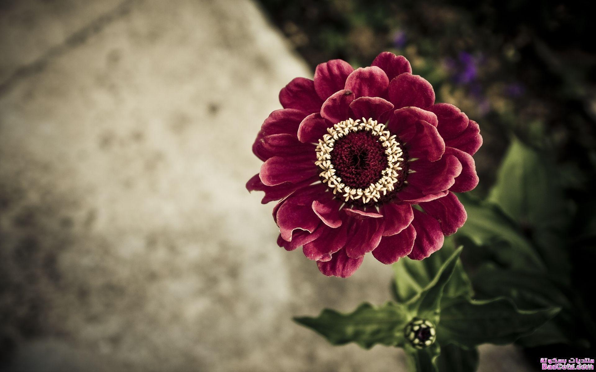 بالصور خلفية ورود وصو زهور جميلة 20160725 41