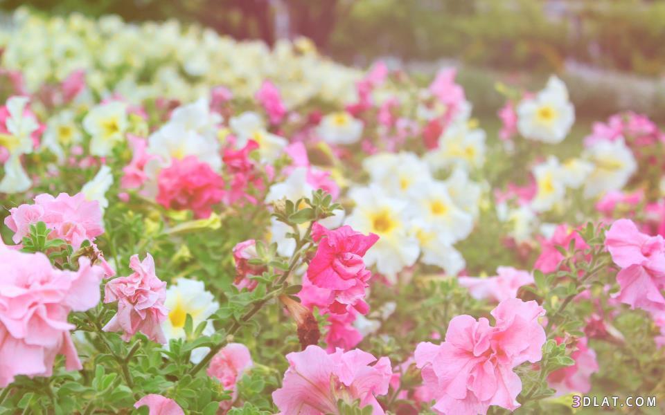 بالصور خلفية ورود وصو زهور جميلة 20160725 42