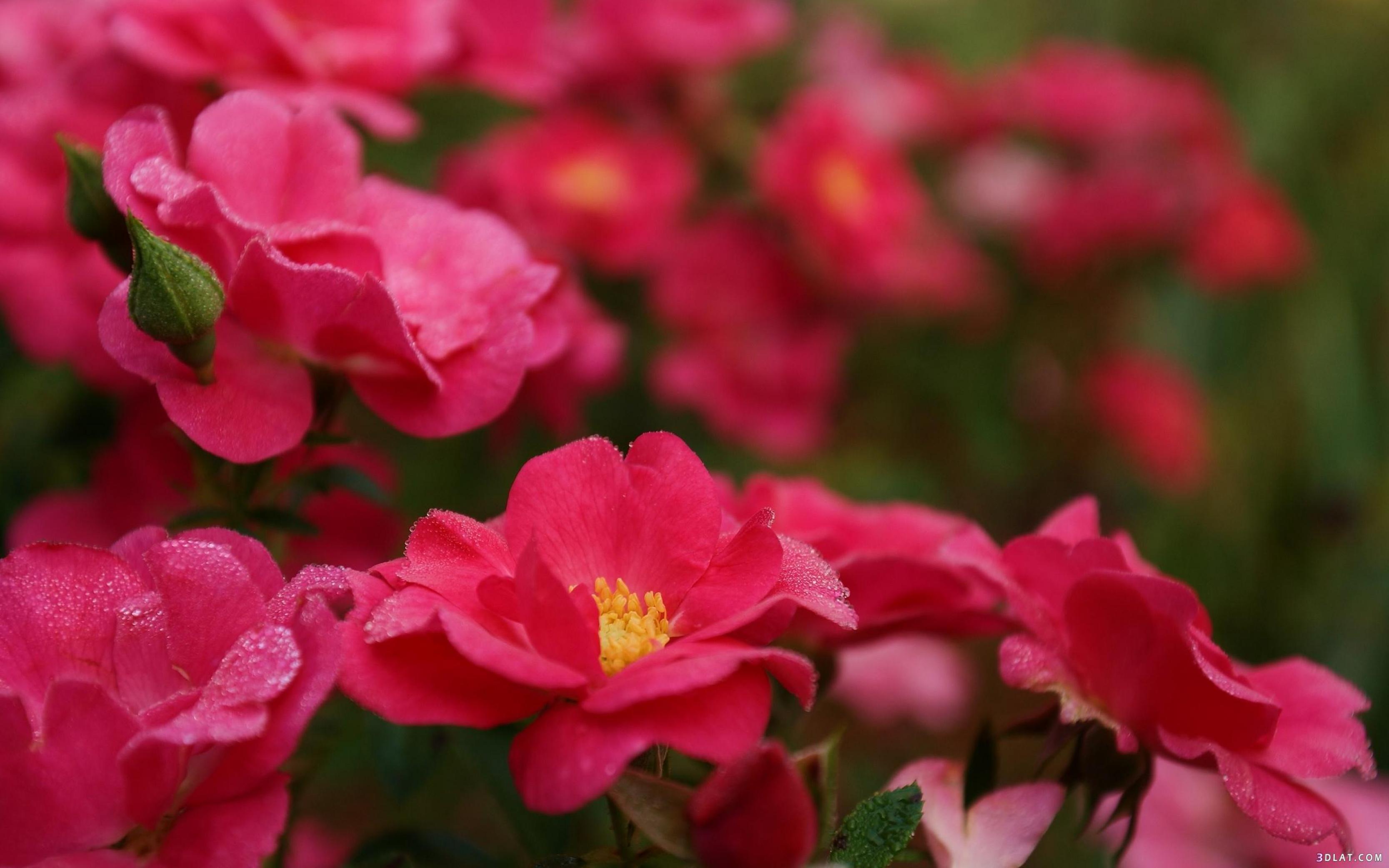 بالصور خلفية ورود وصو زهور جميلة 20160725 53