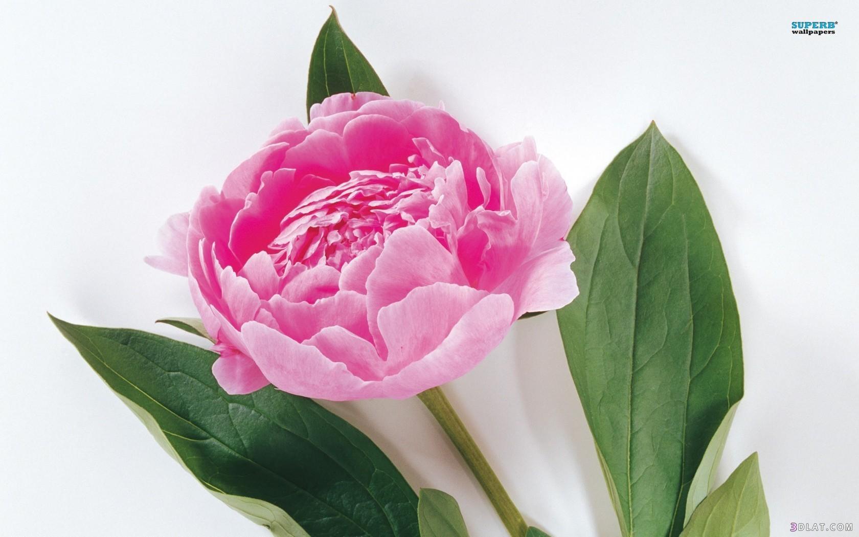 اكبر مجموعة من صور الورد الرائعة لسطح المكتب خلفيات ورود جميلة لسطح المكتب 13661439911.jpg