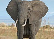 صوره تعريف حيوان الفيل بالفرنسية