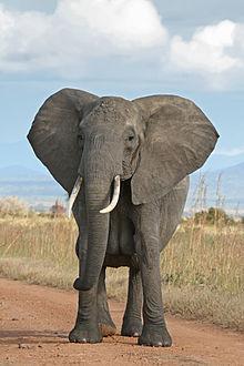 صور تعريف حيوان الفيل بالفرنسية