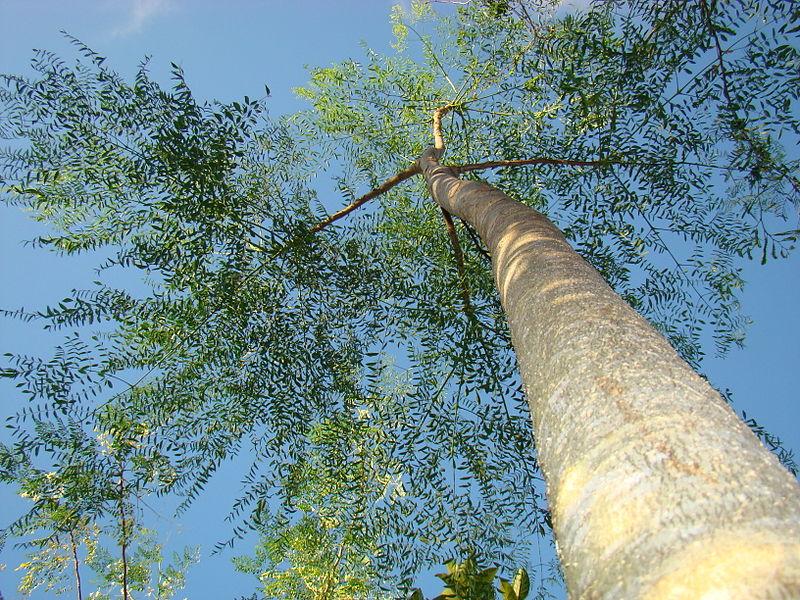 بالصور معلومات مفيدة عن شجرة المورينجا 800px Moringa Drouhardii27 Asit