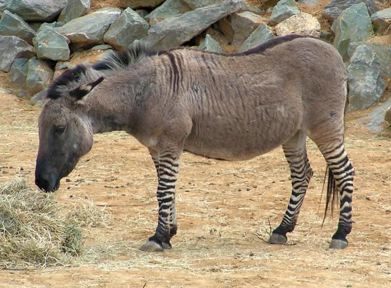 بالصور معلومات عن حيوان حمار Zeedonk 800