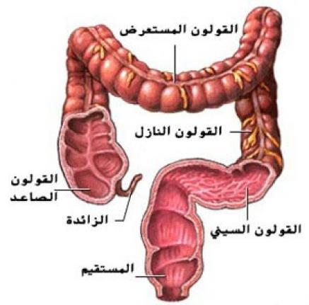 بالصور اين يوجد القولون في جسم الانسان c511d0bd88bdf23ff170667686b361ed