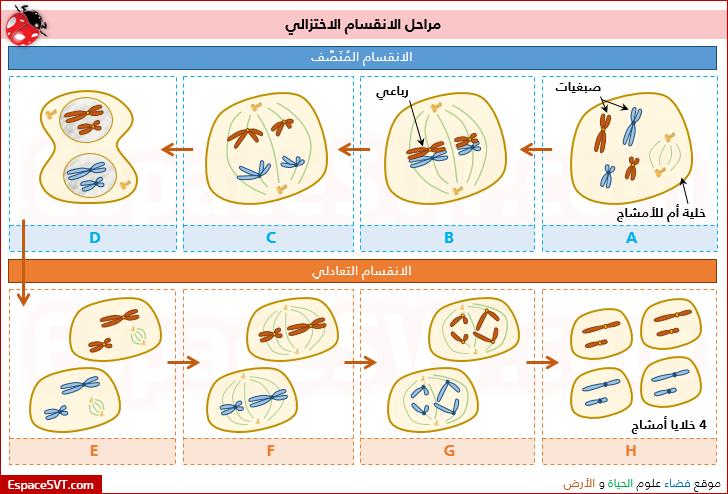 صوره مراحل الانقسام الميوزي في الجسم