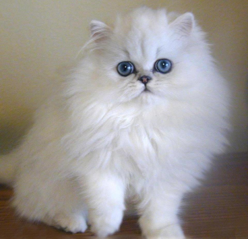 بالصور معلومات عامة عن القطط الشيرازى maxresdefault 25
